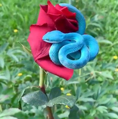 Viral Video: लाल गुलाब पर नीला सांप, सोशल मीडिया पर वायरल हो रहा है अनोखा दृश्य